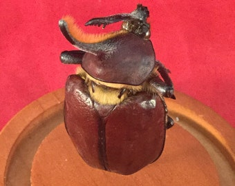 Y-67 Taxidermy Entomology Golofa Eacus  Beetle Glass dome Display specimen collectible