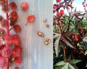 CASTOR BEAN (6 seeds) Ricinus communis - TOXIC- Exotic Tropical - Anti-bacterial, Anti-fungal, Immune Boost, Bowel, Skin & Hair Health-