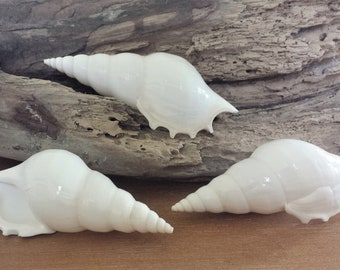 Beach Decor, White Shells, Seashells, Shells, Home Decor, Craft Shells, Tibia Delicatula, Sea Shells, White Sea Shells