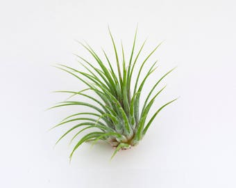 Luftpflanze Tillandsia Ionantha   Exostiche Schöne Pflanze   Dekoidee Gechenkidee Pflanze Lose