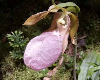 Pink Lady's Slipper .... 200 Seeds