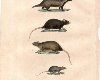 Original French Buffon 19C natural history print, 1837