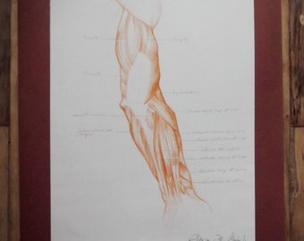 Original drawing, Anatomical Table, Arm, Sanguine, with captions