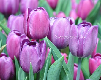 Purple Tulips; Tulip Photography; Digital Flowers; Purple Flowers; Downloadable Tulip Photo; Tulip Wallpaper; Pretty Tulips; Purple