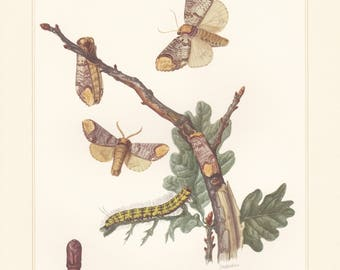 Vintage lithograph of notodontidae, buff-tip mothand, prominent moths from 1956