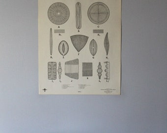 Vintage Diatoms classroom chart from Turtox