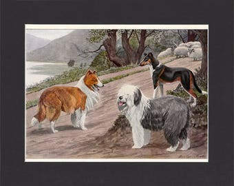 Collies Print 1919 by Louis Agassiz Fuertes Vintage Print Mounted Collie Dog Print Old English Sheepdog Smooth Collie Print Vintage Dogs