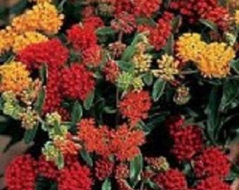 30+ Mix Asclepias Butterfly Weed / Perennial Flower Seeds