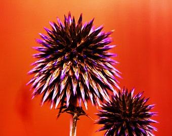 "Orange Wall Art Print: ""Purple Thorns"", Flower Photography, Nature Photography, Orange Home Decor"