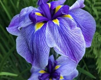 Iris Print - Floral- Photography- Purple