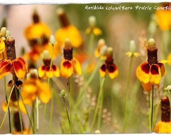 Ratibida columnifera 'Prairie Coneflower' [Red-Yellow Form] 100+ SEEDS