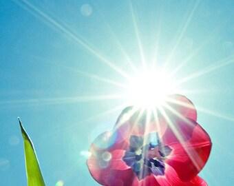 sunflare tulip botanical photography / vibrant, spring, aquamarine, fuchsia, red, sunflare / explode / 8x10 fine art photo