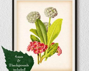 Botanical print, Botanical Art, Primula, Flower art, Antique prints, Flower illustration, Digital download art, Home wall art, Vintage, #47