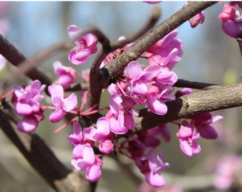 Close up Redbud Flower, Photograph available in 5x7, 8x10, and 11x14 inches