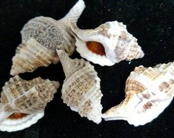 Cymatium Nicobarium Seashells  (2 Shells)