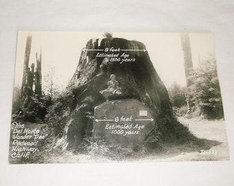 Vintage California WONDER TREE Real Photo Postcard • Del Norte • Redwood Highway Calif.
