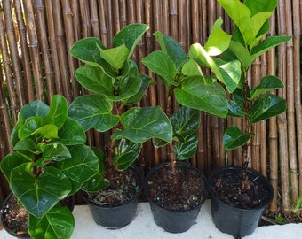 "Fiddle Leaf Fig Ficus Lyrata Pandurata ""Little Fiddle"" Growing in a 6"" Pot, Indoor/Outdoor Plant, Patio, Garden"