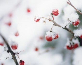 Winter Berries Red Berries Bittersweet Rustic White Snow Winter Photography Red Gray  Fine Art Print