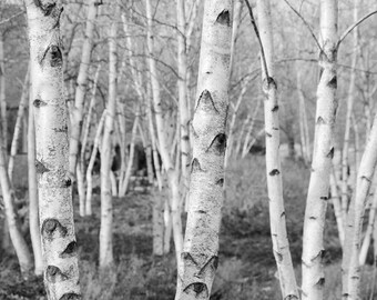 Birch Trees art, black and white photo print,  large paper canvas picture, nature photography wall decor 8x10 11x14 12x18 16x20 20x30 30x45