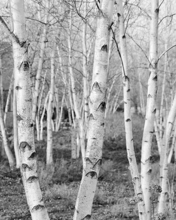 Birch trees art black and white photo print large paper