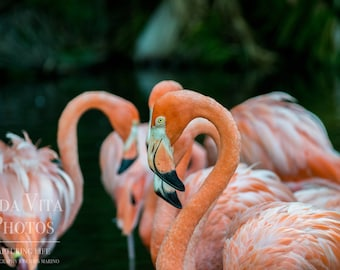 Flamingo Photo, Flamingo Photography, Flamingo Wall Art Print, Bird Photography, Nature Photography, Nature Print, Digital Download