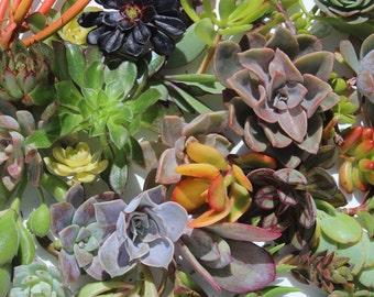 "75 succulent cuttings 75 succulent clippings plant cuttings wholesale succulent cuttings bulk succulent clippings 1-5"" large clippings"