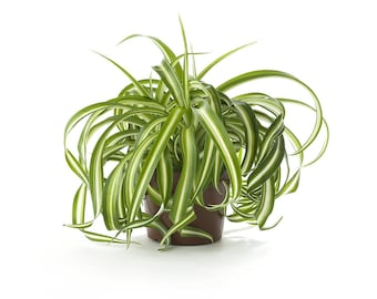 Spider Air Purifying Plant - Safe for Pets, Easy Care Houseplant, Housewarming, Birthday Present, Gift for Her, Dorm Decor, Gardening