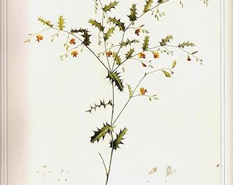 REDOUTE Vintage 1990 Art Print Botanical Original Book Plate 80 Beautiful Chorizema Orange Flowers Needly Petals Chart Antique Writing