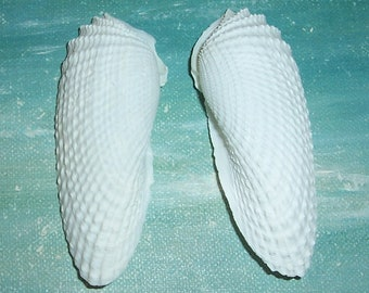 "Set/Pair 2 5/8"" FLORIDA Beach Found ANGEL Wings SEASHELL #3"