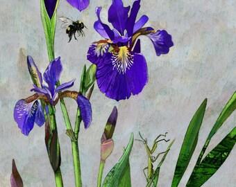 "16x19"" Framed and Matted, Hummingbird and Irises, Premium Giclee Print."