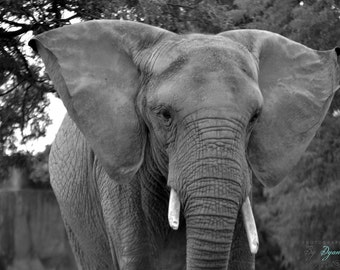 Black And White Elephant Photograph Large Print