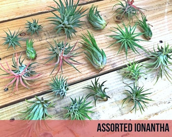 100 assorted Tillandsia IONANTHA air plants - FREE SHIP treasury wholesale bulk lot collection