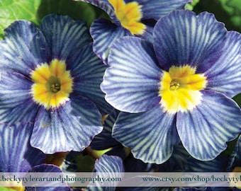 Primrose, Digital Photography, Fine Art Photo Print