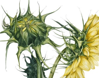 Sunflowers - large botanical print, 11 x 16 or 13 x 19 in, sunflowers, green, leaves, botanical watercolor, botanical illustration