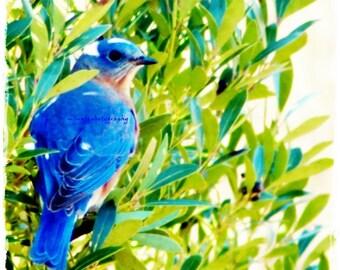Mr. Big Blue - Original Eastern Bluebird bluebird blue love bluebird birder lovely bird green and blue Fine Art Print 5x5