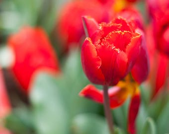 Red Tulips - Art Print - Holland