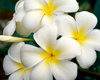 White Plumeria Hawaiian Lei Flower Fine Art Photography Canvas Giclee - Flower Photography Frangipani - Nature Photo Home Wall Art - Gift