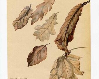Vintage Nature Scene, Botanical,  Bookplate Illustration, Print for Framing, Autumn Leaves, Dead Leaves, Elm, Oak Beech,  Nature Print