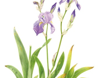 """Print """"Iris cengialti""""-Maria Rita's Iris Lineage Series"""