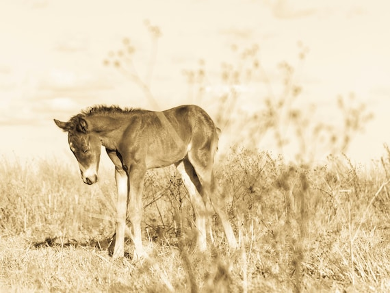 SLEEPING FOAL. Horse Print, Foal Picture, Equine Print, Animal Picture, Limited Edition Print