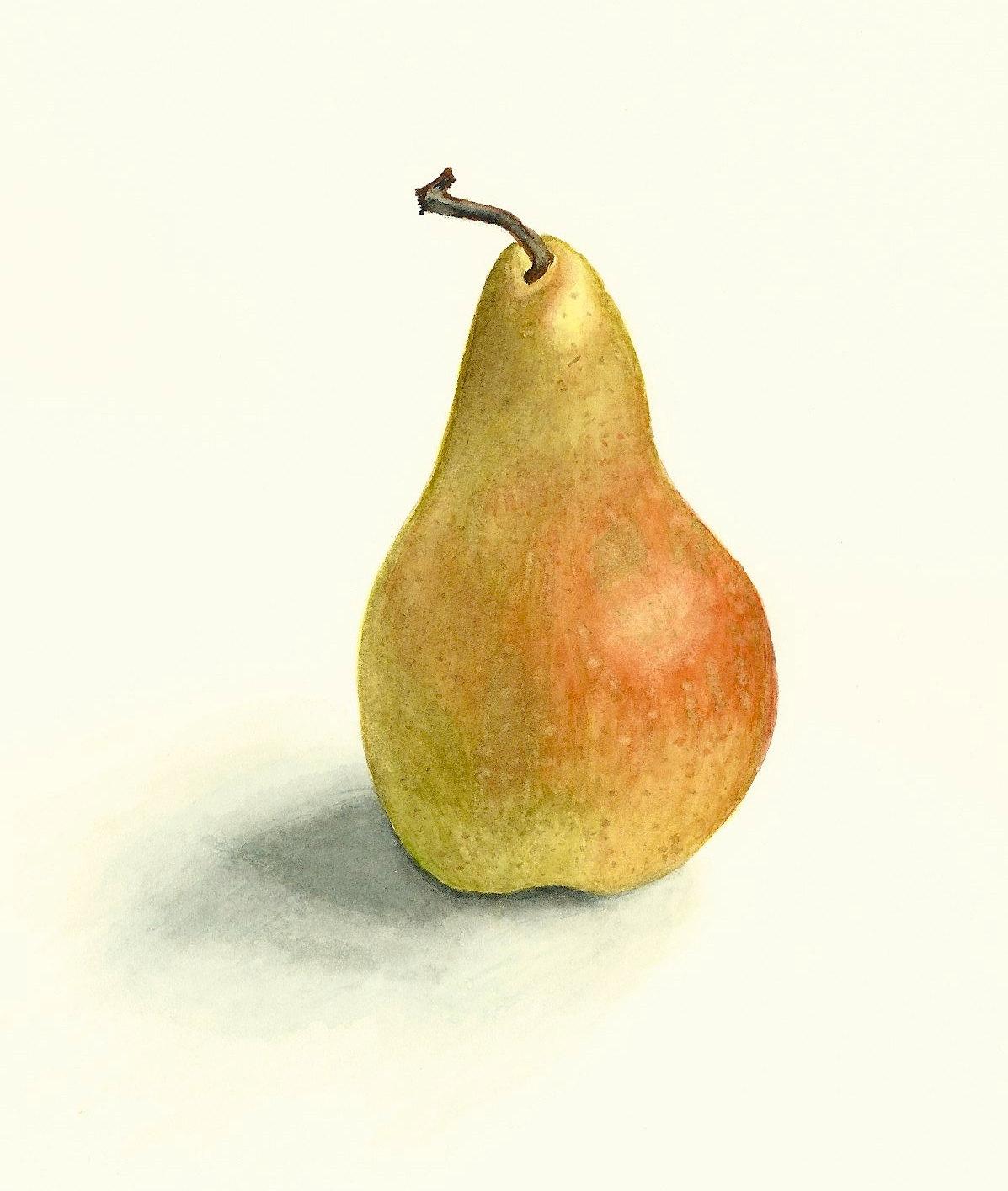 Original Realistic Pear Watercolor Digital Print 6x8 on Acid