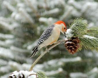 Red-Bellied Woodpecker, Fine Art Photograph