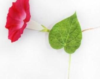 Morning Glory Seeds Scarlett O'Hara, Deep Red Flowers, Crimson, 20 Seeds