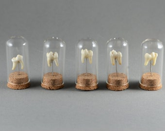 Real Tooth Mounted in Miniature Bell Jar