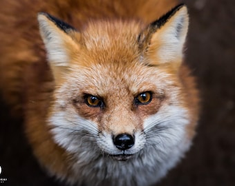 Print - Limited edition - Daring Fox