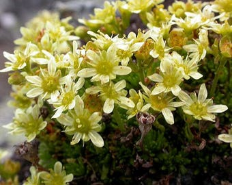 25 Saxifraga moschata Seeds,   Cloth of Gold Seeds