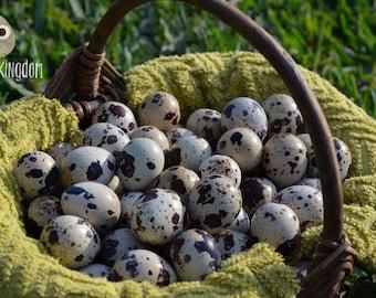 15 Fresh Quail Eggs for Hatching / Eating