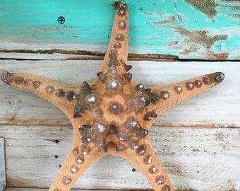 """Philippine Starfish Knobby Brown Starfish 6-8"""""""