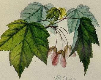 Red Maple Tree Acer Rubrum Prestele Vintage Poster Print Botanical Lithograph To Frame 199