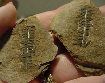 Pecopteris fossile fougère feuille 2 pièce formation mimi Creek, IL, 18t46 fossiles positives et négatives